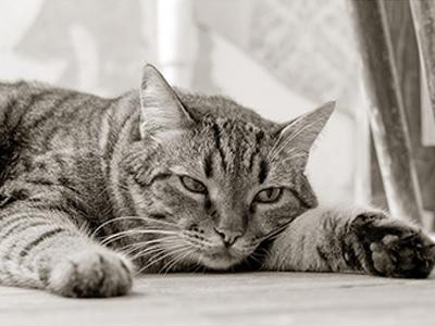 feline-immunodeficiency-virus-fiv-in-cat