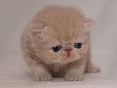 feline-leukemia-virus-felv-in-cat