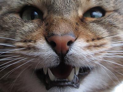 rabies-in-cat