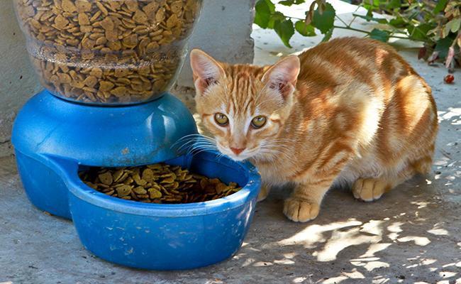 pregnant-cat-care