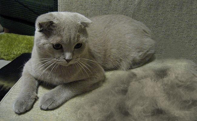 cat-moulting - Cat Shedding