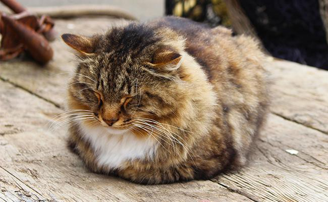 the-loafer-or-sphinxer Cat Sleeping Positions