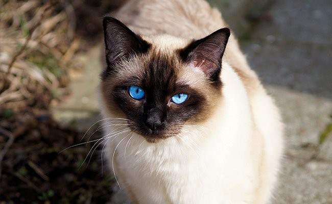 balinese-cats-with-blue-eyes