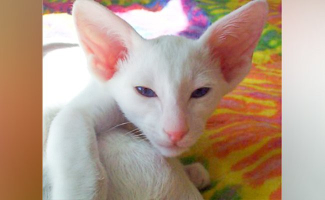 foreign-white-cats-with-blue-eyes