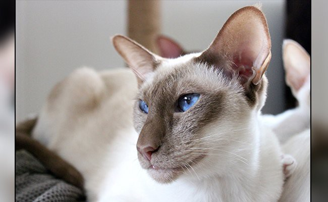 javanese-cats-with-blue-eyes