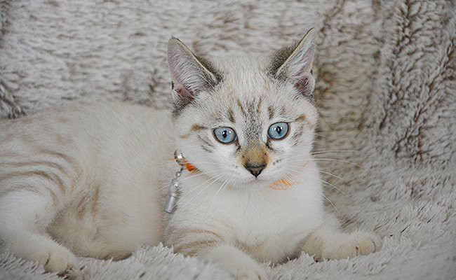 ojos-azules-cats-with-blue-eyes