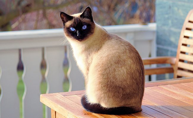 siamese-cats-with-blue-eyes