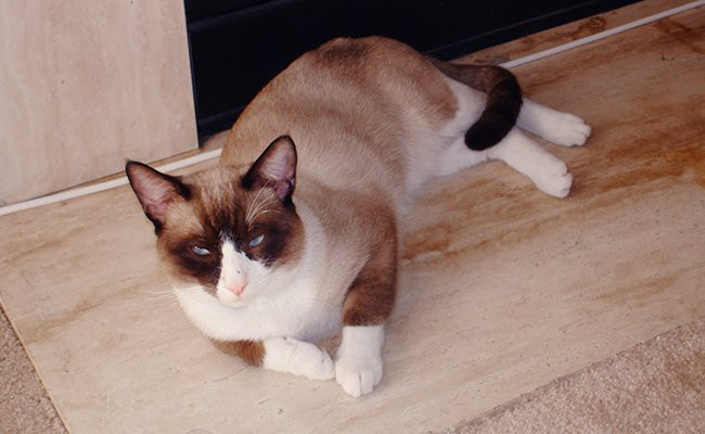snowshoe-cats-with-blue-eyes