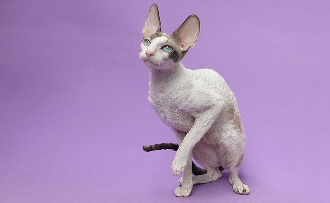 cornish-rex-cats-with-curly-hair