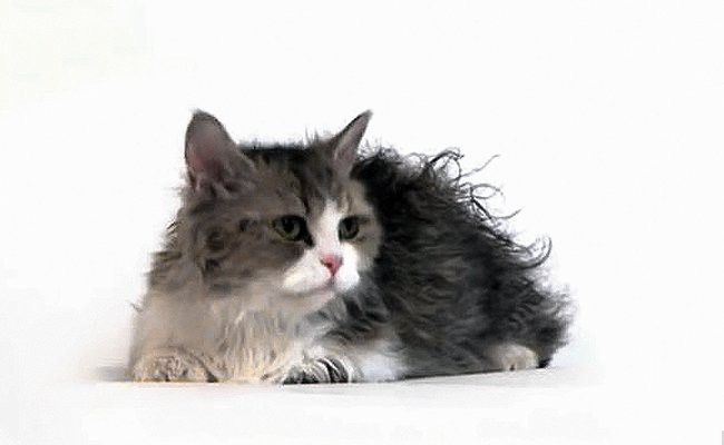 lambkin-dwarf-cats-with-curly-hair