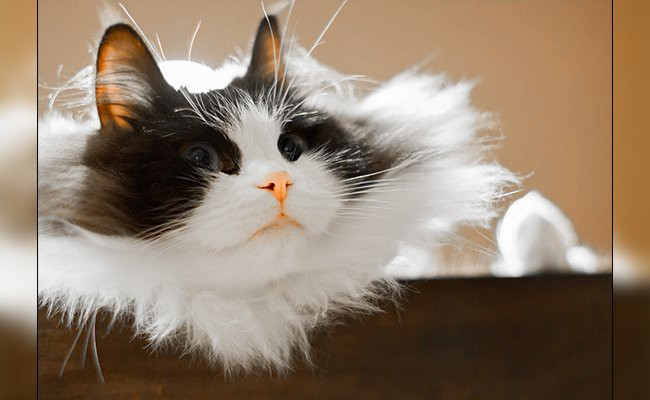 ragamuffin-cats-with-curly-hair