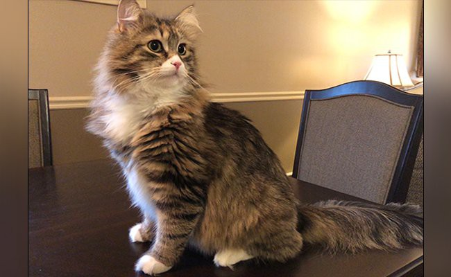 siberian-cat-cats-with-curly-hair