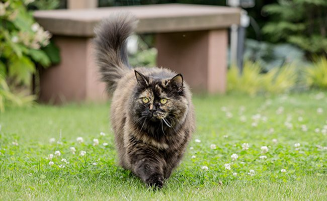 british-longhair-cat - Cats With Flat Faces
