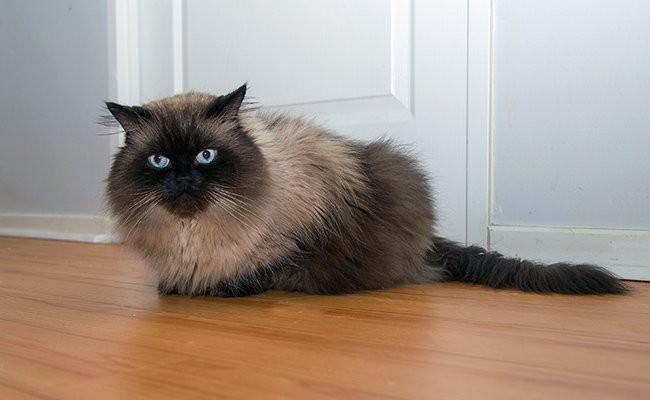 himalayan-cat - Cats With Flat Faces
