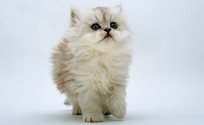 persian-cat - Cats With Flat Faces