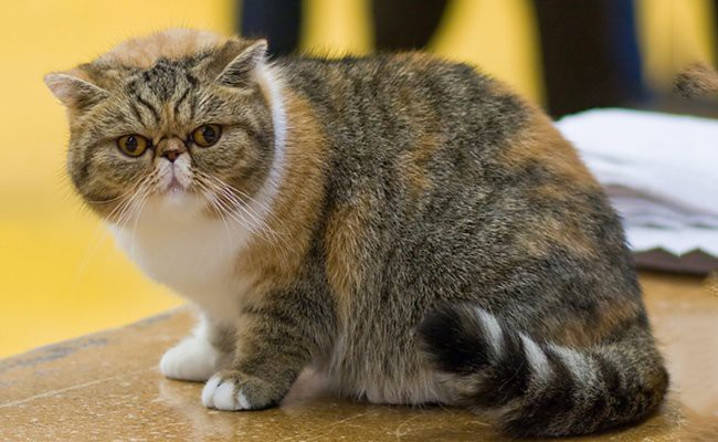 the-exotic-shorthair - Cats With Flat Faces