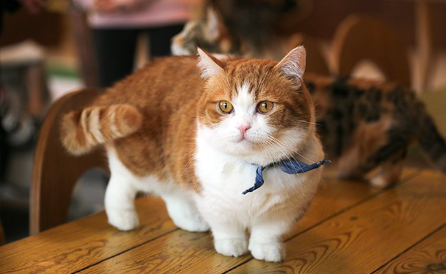 the-munchkin-cat - Cats With Flat Faces