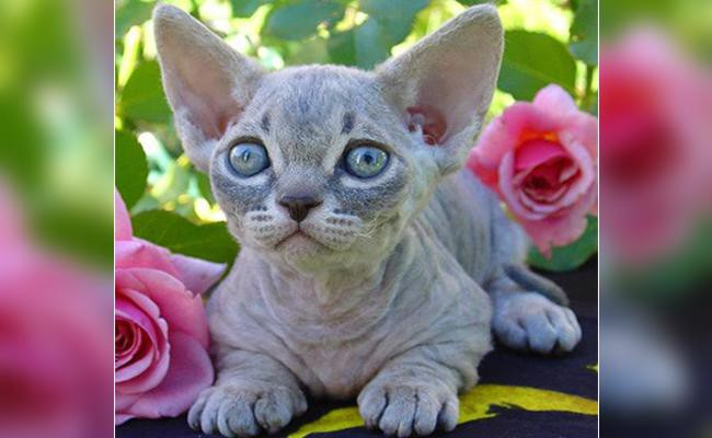 minskin-cats-with-short-legs