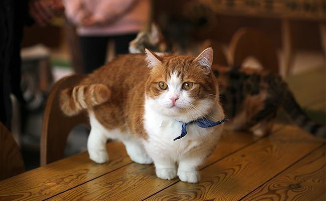 munchkin-cat-cats-with-short-legs.