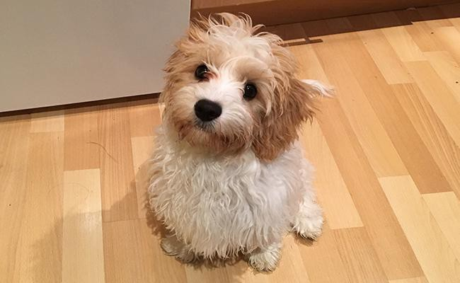 cavachon-breed-characteristics-sheet