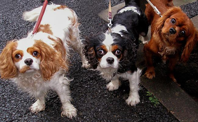 coat-color-and-appearances-cavalier-king-charles-spaniel