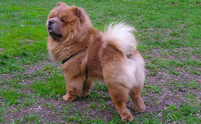 chow-chow-key-facts
