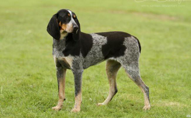 blue-tick-coonhound