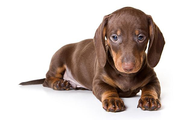 dachshund-history