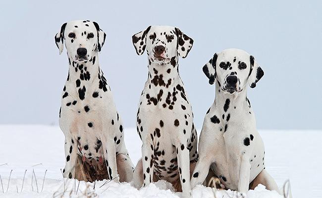 coat-color-and-appearance-dalmatian