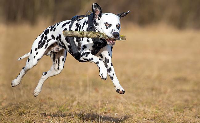 training-dalmatian