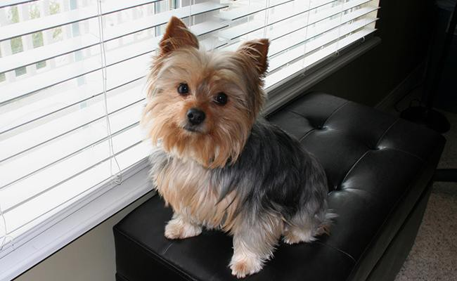 chorkie-designer-dogs