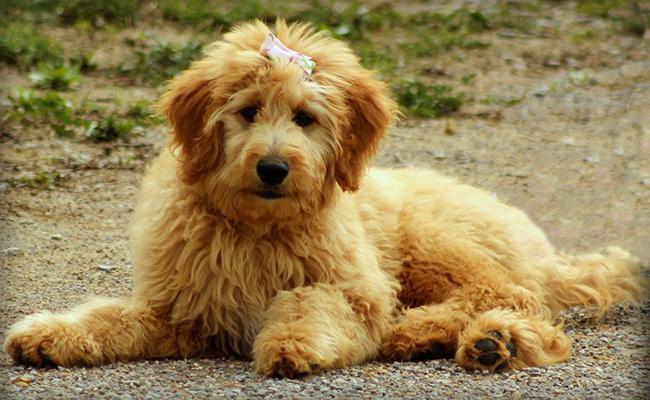goldendoodle-designer-dogs