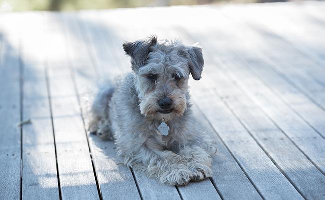schnoodle-designer-dogs