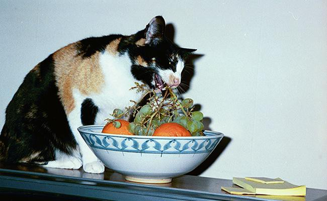 diabetes-in-cats-ideal-food-and-diet