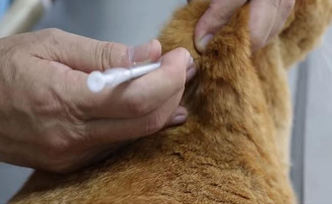 treatment-for-diabetes-mellitus-in-cats