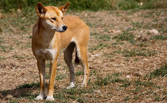 size-weight-of-a-dingo