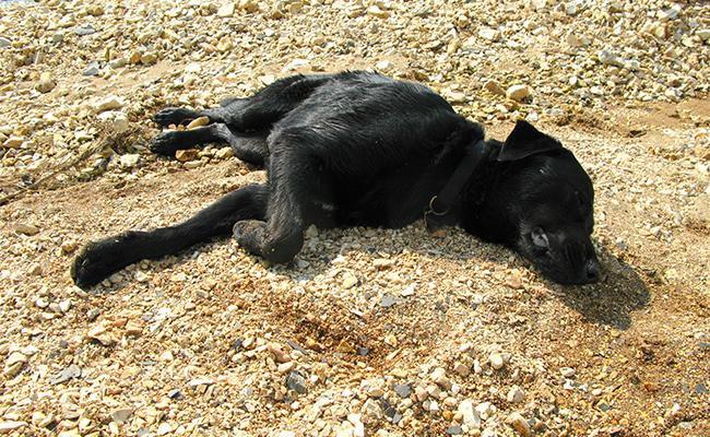 heatstroke-in-dog