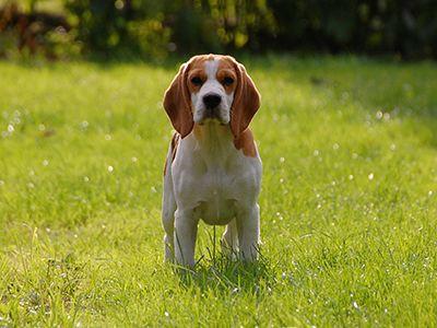 beagles-dog-barking