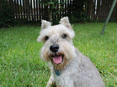 miniature-schnauzer-dog-barking