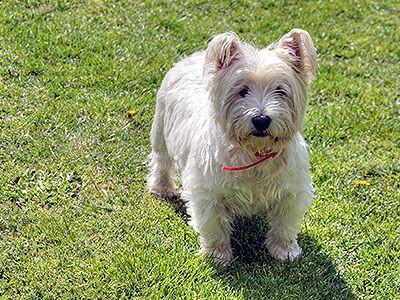 west-highland-white-terrier-dog-barking