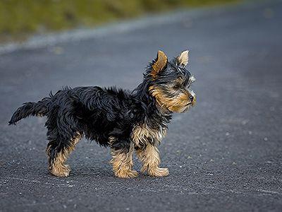 yorkshire-terrier-dog-barking