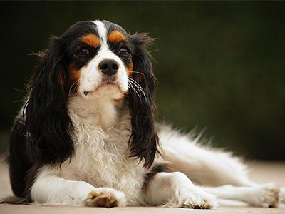 Cavalier_King_Charles_Spaniel
