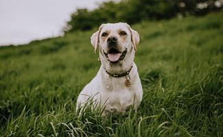 beagle-lab-mixs