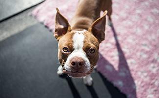 boston-terrier
