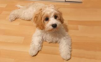 cavachon-dog
