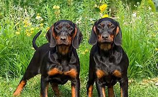 coonhound