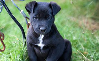 husky-lab-mix