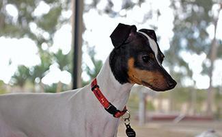 japanese-terrier