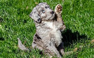 Miniature Aussiedoodle