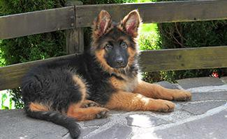 mini-german-shepherd